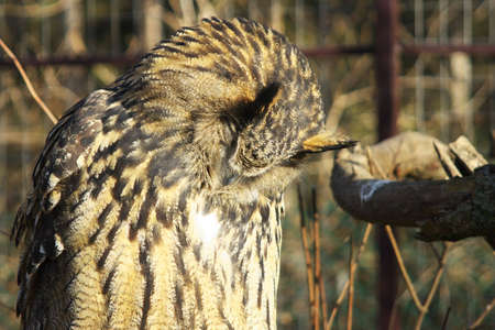 incubate: This owl race on Eur�zsia big part can be found. Stock Photo