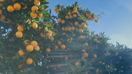 Juicy ripe oranges on branches of an orange tree