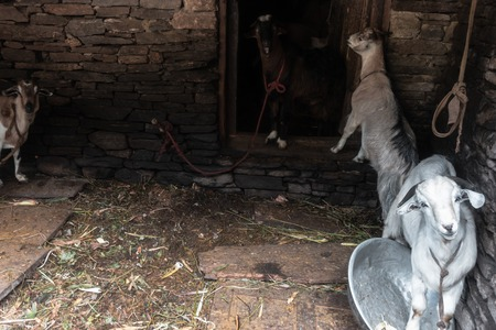four goats in stall, hut looking towards fewer in a small village in nepal