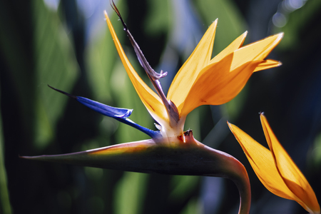 close up of bird of paradise with perfect backlight and blurry background in botanical garden