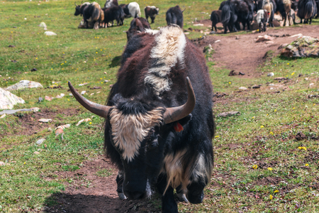 yak bull with big getting ready to attack horns close up