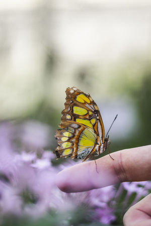 Orange, Yellow, White and Black Butterfly sitting on Persons Finger Isolated with pink Flower blury Background during Daylight in Botanical Garden