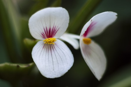 Close up of small flower with two whit and pink petals with green blurry background during daylight in botanical garden