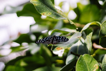 small black butterfly with blue spots on green leaf during daylight with blury background in botanical garden