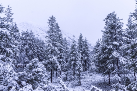 Spruce Tree Forest Covered by Snow photo