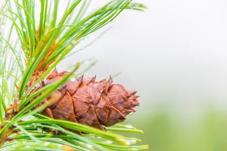 Cone on a branch cedar Stock Photo