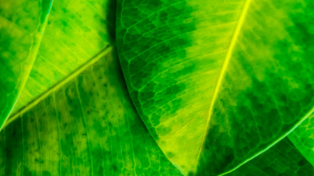 Green background from leaves of ficus Stock Photo