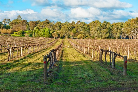Beautiful winter vineyard in the South Australia photo