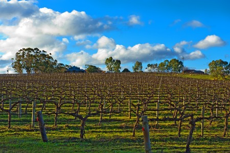 Beautiful winter vineyard in the South Australia photo