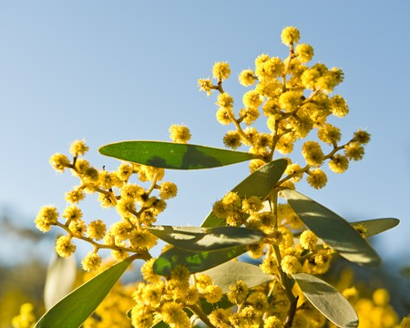 wattle: Australian Wattle blooms on sky background Stock Photo