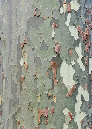 image of a platan tree bark texture Stock Photo - 7842784