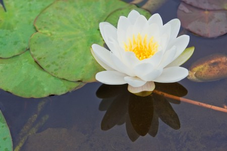 white water lily Nymphaea Alba among green leaves photo