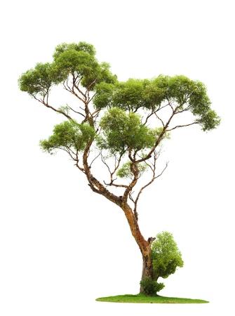 leafy trees: Solo disparar antiguo de �rbol y los j�venes de una ra�z aislada en blanco