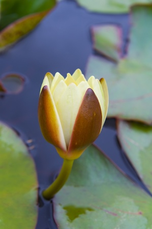 image of a yellow water lily among green leaves photo