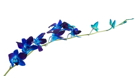 blue violet bright: deep purple orchid isolated on a white background
