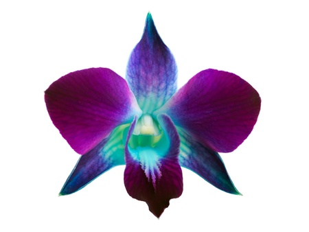 morado: Deep purple orchid aislada sobre fondo blanco