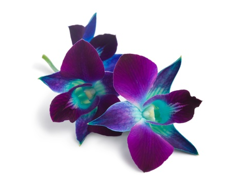 deep purple orchid isolated on a white  photo