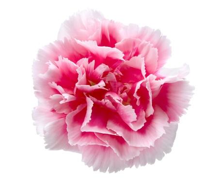 clavel: Hermoso Clavel rosado aislada sobre fondo blanco