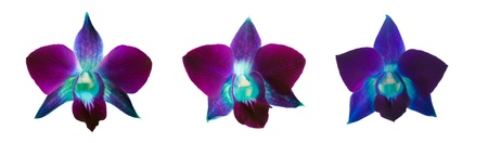 blue violet bright: three flowers deep purple orchid isolated on a white background