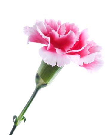 在白色背景隔绝的美丽的桃红色康乃馨