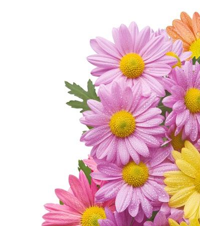 crisantemos: Colorido ramo de flores de crisantemo aisladas sobre fondo blanco con agua drops.Background a�adido para lograr una buena composici�n.