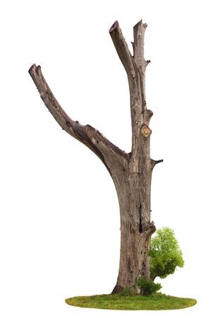 Singolo albero morto e vecchio e giovani sparare da una radice isolata su sfondo bianco