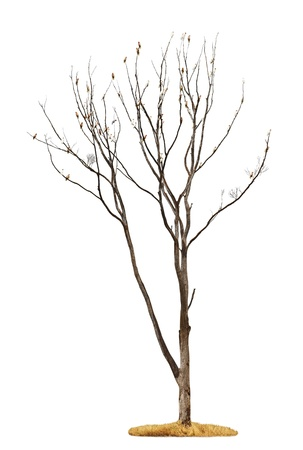 leafless: Single old and dead tree with white parrots on the branches isolated on white background