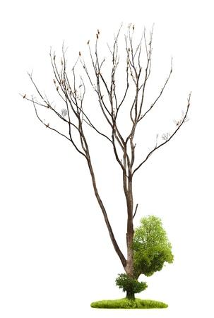 toter baum: Einzel alten und toten Bäumen und jungen Triebe aus einer Wurzel isoliert auf weißem Hintergrund