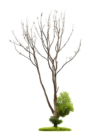 Single old and dead tree and young shoot from one root isolated on white background photo