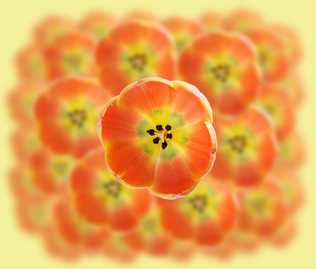 Beautiful abstract orange  background with tulips macro photo