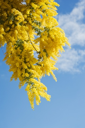 globular: Australian Wattle blooms against the blue sky