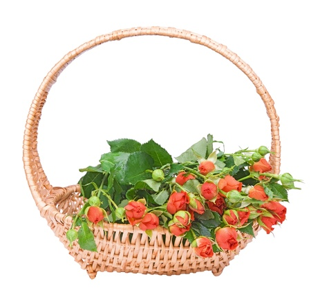 the basket of small red roses isolated on white  background photo