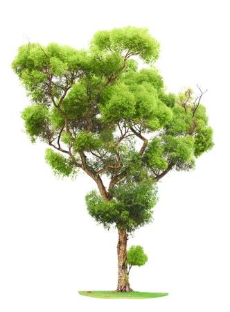 arboles frondosos: Solo rodaje árbol y los jóvenes viejo de una raíz aislada sobre fondo blanco