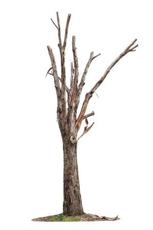 arboles secos: Solo árbol viejo y muerto aisladas sobre fondo blanco