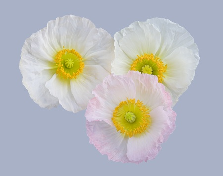 white and pink poppies isolated on grey background photo