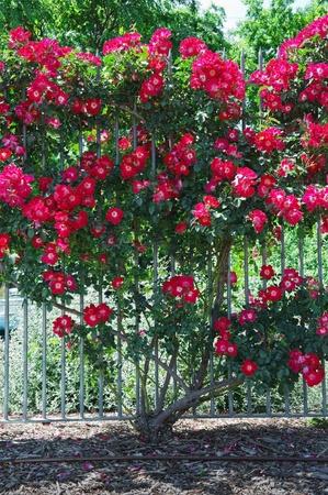 adorning: A beautiful rose bush adorning  the fence Stock Photo