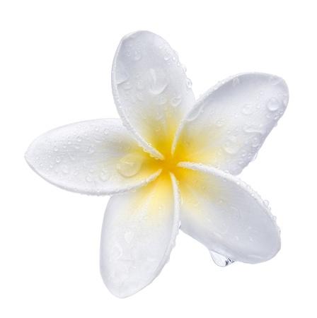 Frangipani plumeria Spa Flower isolated on white Stock Photo - 11641996