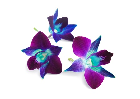 purple orchid: deep purple orchid isolated on a white background