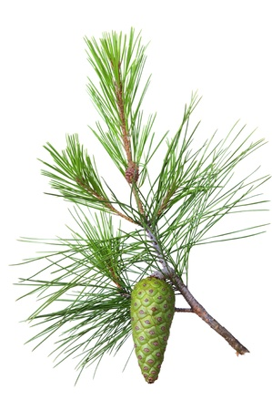 pomme de pin: Spruce branche avec cône vert sur un fond blanc Banque d'images