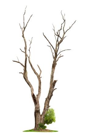 1 つ古い死んだ木と白い背景の分離 1 つのルートから若いシュート。概念の死と生命の復活。