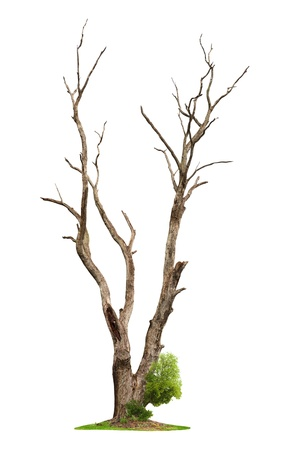 dead wood: Single old and dead tree and young shoot from one root isolated on white background.Concept death and life revival.