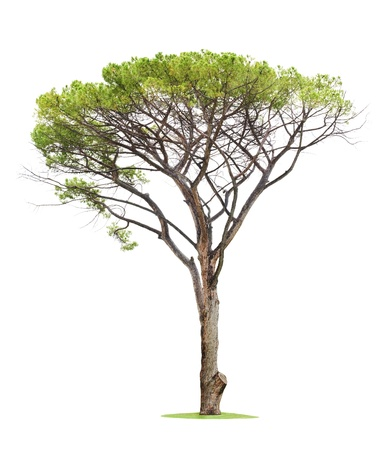 Green beautiful and tall tree isolated on white background Stock Photo - 13195058