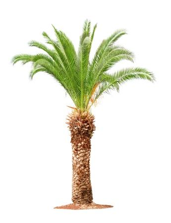 Vert beau palmier isolé sur fond blanc Banque d'images