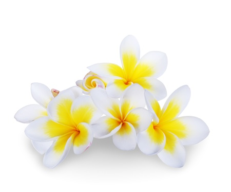 Frangipani plumeria Spa Flower isolated on white  photo
