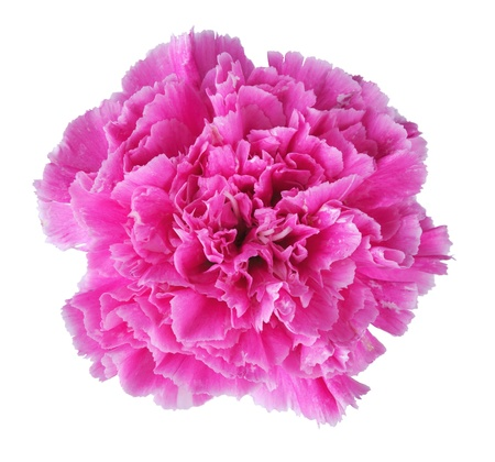 Beautiful pink carnation isolated on white background photo