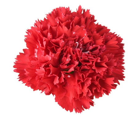 Beautiful red carnation isolated on white background photo
