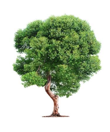 緑の美しい木の白い背景で隔離