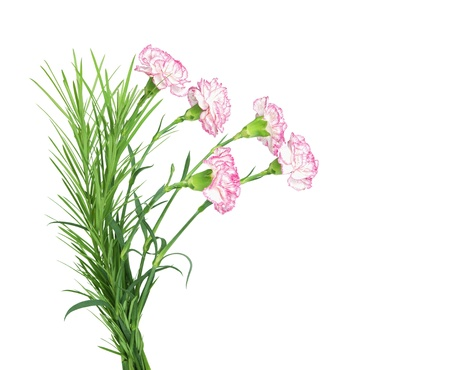 beautiful bouquet of carnations isolated on the white background  photo