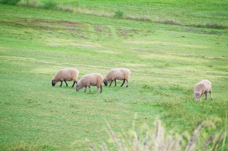 some sheeps  on a grassy field in rural South Australia photo