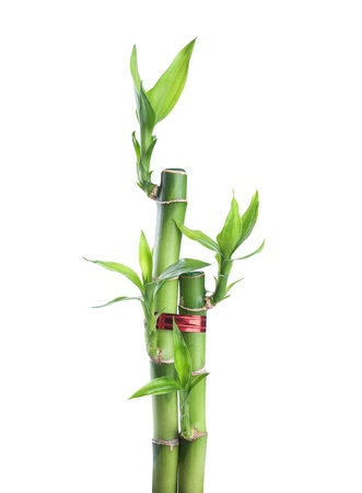 Chinese lucky Bamboo with red ribbon - happiness symbol, isolated on a white background  photo